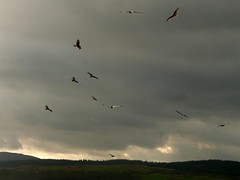 Red Kites (Dennis@Stromness) Tags: uk wild kite bird nature birds scotland britain wildlife raptor birdofprey dumfriesgalloway galloway redkite dumfriesshire gallowaykitetrail bellymack kitetrail
