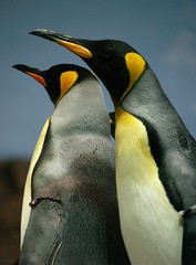 Pinginos (Luis Javier Arrillaga) Tags: photography penguin mar fabulous seaworld pingino pinginos goldenglobe blueribbonwinner flickrsbest totalphoto photographyrocks mywinners platinumheartaward master dragongoldaward flickrestrellas magicdonkeysbest 100commentgroup jediphotographer jedi thesuperstarthebest dradondaggeraward superstarthebest