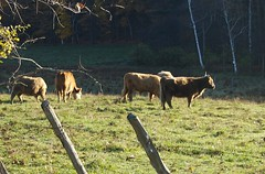 wild_cows