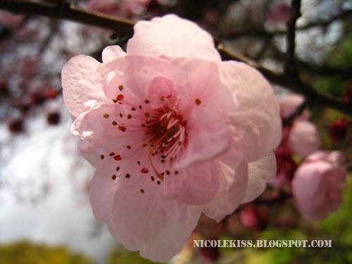 one cherry blossom