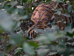 Bengal Tiger (Emon) Tags: travel india tiger royal safari jungle predator bengal terai pantheratigristigris jimcorbettnationalpark pantheratigrisbengalensis