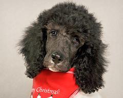 Merry Christmas, says Edgar! (Piotr Organa) Tags: portrait dog pet toronto canada cute animal puppy poodle aplusphoto flickrlovers vosplusbellesphotos