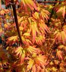 fiery fall foliage of a japanese maple