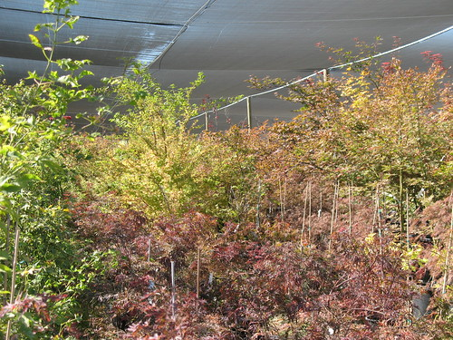 Japanese Maples at Sommers