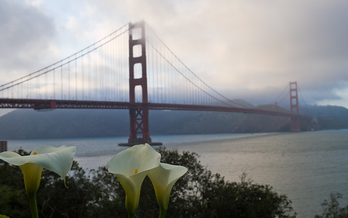 golden gate bridge wallpaper. cala lily and golden gate