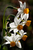 Narcissus (macropoulos) Tags: topf25 500v20f greece crete plantae wildflower narcissus excellence tazetta amaryllidaceae liliopsida magnoliophyta 1000v40f canonef100mmf28macrousm asparagales canoneos400d 30faves30comments300views flowerpicturesnolimits vosplusbellesphotos