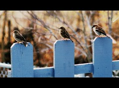 The Three St...I Mean Sparrows (mightyquinninwky) Tags: trees bird birds rural geotagged countryside backyard dof bokeh kentucky country flock award aves farmland depthoffield deck sparrow ave dogwood chainlinkfence sparrows invite bushes commonwealth picnik smalltown rivervalley grouping redbudtree westernkentucky openfield unioncountykentucky ohiorivervalley nativebirds nativefauna coldwinterday nativeflora edgeoftown naturearoundmyhouse avianphotography ruralkentucky morganfieldkentucky citrit fieldsparrows geo:lat=37693194 thebluegrassstate geo:lon=87905554 agriculturalcommunity thecommonwealthofkentucky nativekentuckyflora smalltownkentucky nativekentuckyfauna commonsongsparrow coalminingregion nativefloraandfauna bestofformyspacestation