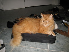 Laptop cat (drayy) Tags: orange cat bag ginger laptop fluffy mainecoon neko ggg cc800 cc700 cc400 cc300 cc200 cc100 cc500 cc1500 cc1300 cc1000 cc600 cc900 cc1400 cc1200 cc1100 cc1800 cc1700 oreengeness cc1600 bestofcats thebiggestgroupwithonlycats catnipaddicts