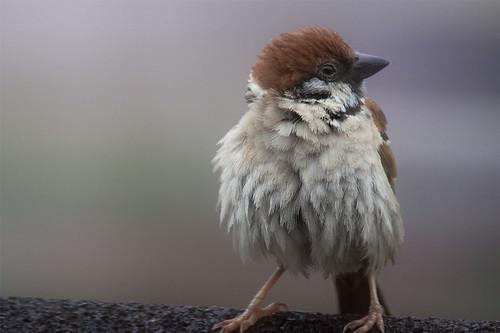 20090120_sparrow