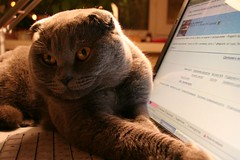 Warm himself (mashalover) Tags: cats scottishfold moris funnycat