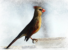 Female Cardinal (*Cristiana*) Tags: nikon cardinal soe femalecardinal otw backyardbirds addictedtoflickr birdspictures abigfave platinumphoto impressedbeauty avianexcellence theperfectphotographer goldstaraward natureselegantshots vosplusbellesphotos thewonderfulworldofbirds alittlebeauty dragondaggerawards photographersworldbestfriends