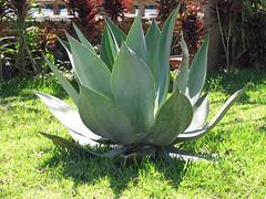 The largest Aloe plant I have seen (SamSpade...) Tags: canon aloe flora elsalvador centralamerica 132 centroamerica salvadorapr06