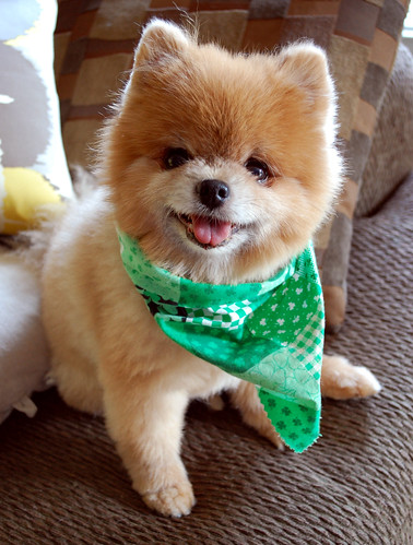 The cutest dog in the world on St. Pat's Day weekend by Teddy n TJ Rule the World