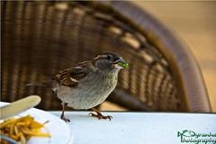 Chinese Bird Dinner (Pyranha Photography | 300k views - THX) Tags: birds dinner canon eos sterreich pea graz fh steiermark vogel styria abendessen spatz nudel photogrpahy frhlingsrolle erbse joanneum pyranha pyranhaphotography chnies 60daustria
