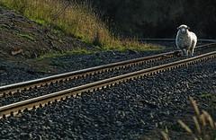 I Walk the Line/Sheepish grin/First time train robber/... (Ian@NZFlickr) Tags: sheep rail line seacliff nz otago aotearoa blueribbonwinner mywinners abigfave anawesomeshot aplusphoto superbmasterpiece