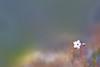 standing out (amanky) Tags: usa flower beautiful wow whiteflower washington amazing bokeh hike lookingdown wildflower 2008 palmsunday march16 overtheedge catherinecreek photohike canonef100mmf28macrousm prairiestar prairestar march2008 palmsunday2008 march162008