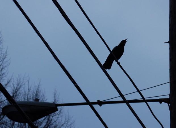 crow_caw