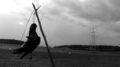 Guardian Angel (garethfw) Tags: up lines warning dead death suffolk wire power farm scarecrow pylon crops crow corpse pylons scare strangled blackbird displayed hung hanged strung jackdaw macarbe macarbre deter deterent garotted