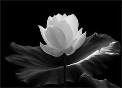 White Lotus Flower in black-and-white- IMGP7600 (Bahman Farzad) Tags: blackandwhite white black flower macro nature fleur de blackwhite back lotus backlit lit    lotusflower lotusflowers  nelumbo nelumbonucifera lotuspetal nucifera  whitelotusflower lotuspetals  lotosblume   lotusflowerpetals lotusflowerpetal