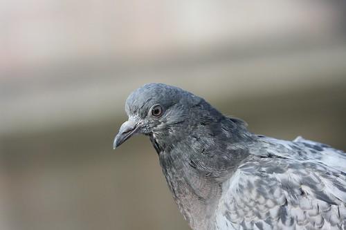 тестовый голубь