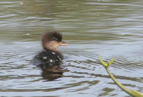Little lost duckling