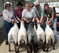 Meaty lambs