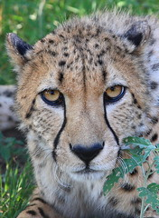 You Looking at me?? (Zooman_723) Tags: searchthebest cheetah impressedbeauty citrit theperfectphotographer goldwildlife salveanatureza qualitypixels earthanditsincredibleanimals planetaterraeseusanimaisincrveis