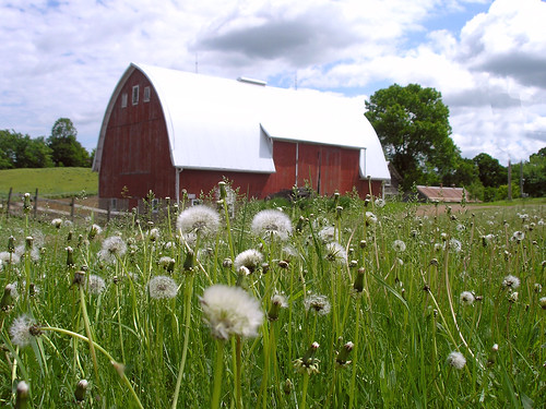 Dandelion rural