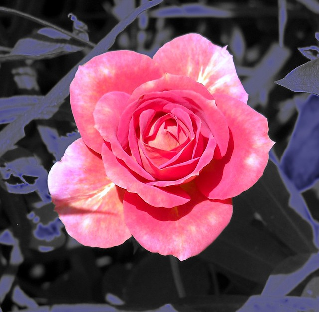 All rose