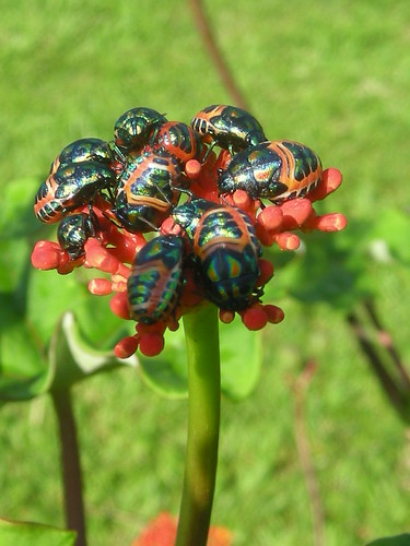 Beetles flower