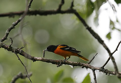 The (Exquisite) Baltimore Oriole (rivadock4) Tags: wild illinois racoon palos warbler cookcounty birdwatcher yellowwarbler balitmoreoriole palosforestpreserve willowspring photocontesttnc10 waynebierbaum