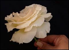 Thank you (Kirsten M Lentoft) Tags: sunlight white flower rose garden momse2600 mmmmmuuahhhhhhhhhhhhhh kirstenmlentoft
