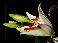 Lilly (itala2007) Tags: flowers white flores macro nature explore lilly 200 fa naturesfinest artisticexpression flowerotica fineartphotos masterphotos seeninexplore theunforgettablepictures excapturemacro itala2007 excellentsflowers natureselegantshots explorewinnersoftheworld mimamorflowers flickrflorescloseupmacros