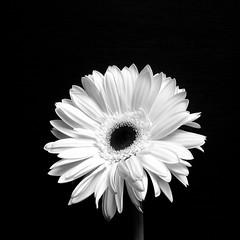 Pretty Petals (Gail Peck) Tags: flower macro blackwhite gerbera daisy