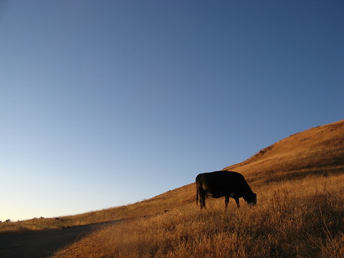 Cow, fading light