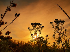 wildblumenmix (hlh2108) Tags: sunset sun nature sunrise germany deutschland gold natur wiese gras sonne saarland sihlouette distel wildblumen rainfarn cherryontop abigfave platinumphoto bexbach diamondclassphotographer flickrdiamond goldstaraward saarpfalz llovemypics