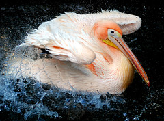 Pelican (floridapfe) Tags: summer bird water animal zoo nikon pelican korea splash everland  naturesfinest impressedbeauty aplusphoto vosplusbellesphotos
