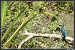 Martin Pecheur d'Europe (Michal Magnin) Tags: suisse martin kingfisher pecheur oiseau vaud alcedo atthis eisvogel cudrefin