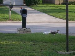 P8030007 (gruntersdad) Tags: birds ibis mylawn