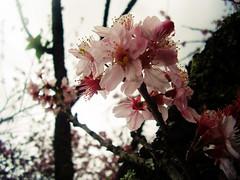 sakuras no inverno (alineioavasso) Tags: pink flores flower sakuras
