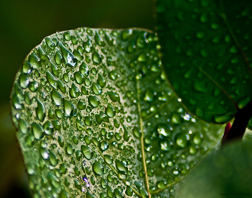 20080815_LeafWaterdrops2