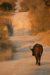Trouble ahead (robep) Tags: southafrica buffalo safari dirtroad gamereserve djuma