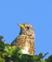 Thrush (photon_de) Tags: bird nature animal bblingen turduspilaris thrush fieldfare g9