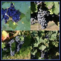 Vignes des Esseintes (Joy Bajay) Tags: nature bordeaux vin vignes raisin mfcc kermaux