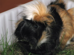 Jacky Portrait (photon_de) Tags: animal guinea pig g9