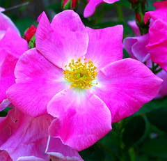 Wild Prairie Rose (Don3rdSE) Tags: flores flower color colour macro nature petals interestingness colorful pretty natural bright blossoms ia sensational blooms envy 1001nights clive desmoines hotshot ~new colorphotoaward cliveiowa flickr~ canong9 coloursplosion macroflowerlovers excellentsflowers thebestofday gnneniyisi natureselegantshots mimamorflowers flickrflorescloseupmacros don3rdse newworldglobalaward ~newenvyofflickr~
