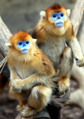 Golden monkey (floridapfe) Tags: animal animals zoo korea everland  goldenmonkey d80 goldstaraward