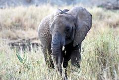 Tanzania Tarangire National Park (eliagrandomattiazzi) Tags: africa animals tanzania afrika animali