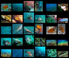 Ita () sealife 2008/12/07 (Nemo's great uncle) Tags: geotagged underwater lionfish bluedragon            flutemouth speckledsandperch snakefish pineconefish  wartyfrogfish  fairynudibranch   goldencurlyfish heavenlydamselfish stripedcatfisheel  bluestreakcleanerwrasse  whitespottedpuller geo:lat=35001457 geo:lon=138780499  pikachuuumiushi yellowstripedbutterfish
