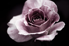 Somewhere (Lee_Bryan) Tags: rose lyrics dof purple rosegarden onblack davemyerrobinsonpark tamronaf70300mmf456macro
